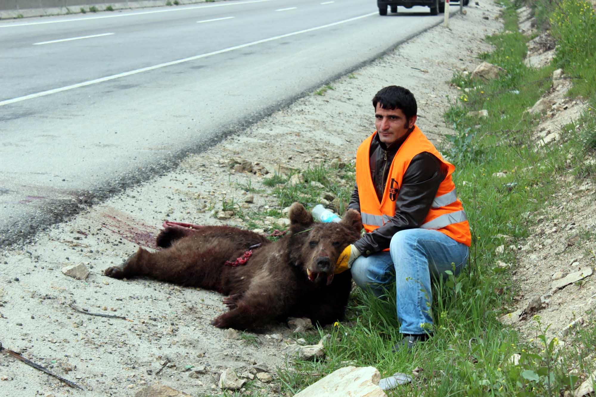Yavru ayı trafik kurbanı!