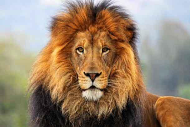 Çalılıklarda sevişirken aslan parçaladı