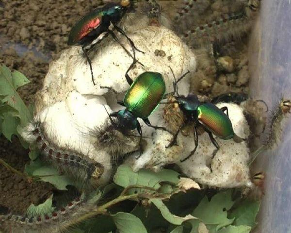 Koruyucu Terminatör böcekleri