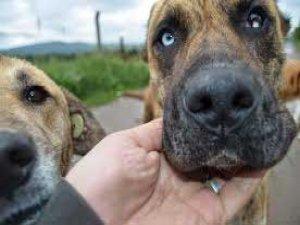 3 bin köpek başıboş yaşıyor