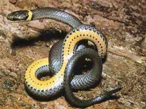 Şehri zehirli yılanlar bastı...